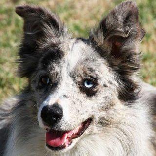 El Kennel Club británico no admitirá a registro ningún perro producto del cruce de dos perros merle (mirlo). Libro Merle: The Start of Dinasty, de Brian Plummer.