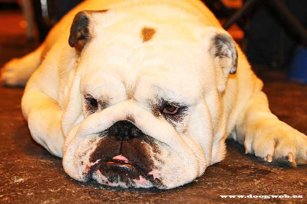 Perro, bullldog, renimnación cardiopulmonar en perros.