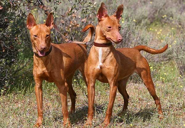 """Nunca adoptaría un podenco andaluz, es """"sólo un perro de caza""""..."""