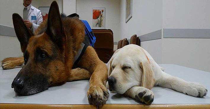¿Cuándo se debe comenzar el entrenamiento y/o adiestramiento de los perros de ayuda social? Por Miguel Ángel Signes Llopis (AIAP).