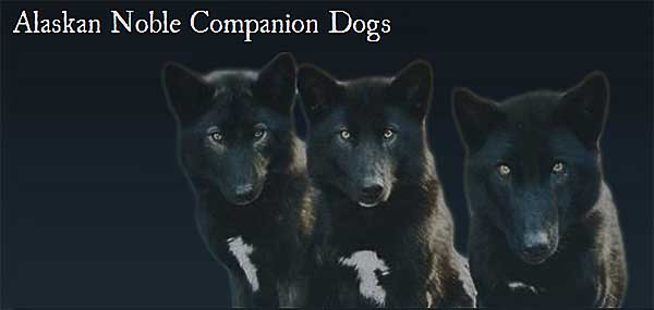 ¿Y si se pudiera crear un lobo de compañía? Existe, es el Alaskan Noble Companion Dog.