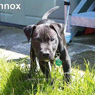 Lennox, el cruce de bulldog americano con labrador, ha sido ejecutado cumpliendo la legislación BSL de Belfast. (Vídeo).
