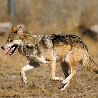 El lobo mexicano se extinguió en libertad en 1950, se empieza a recuperar gracias a los programas de cría en cautividad... pero su historia se parece demasiado a la del lobo ibérico.