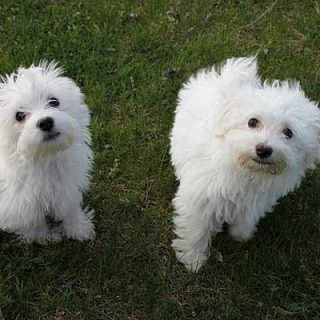 Un nuevo estudio veterinario ha tratado con éxito la dermatitis alérgica en perros con medicamentos orales (gotas).