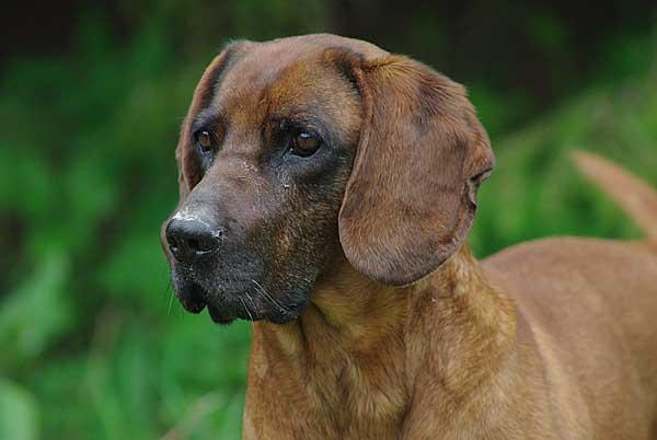 Perros adiestrados son capaces de encontrar animales enfermos de sarna a kilómetros de distancia (proyecto liderado por el CSIC).