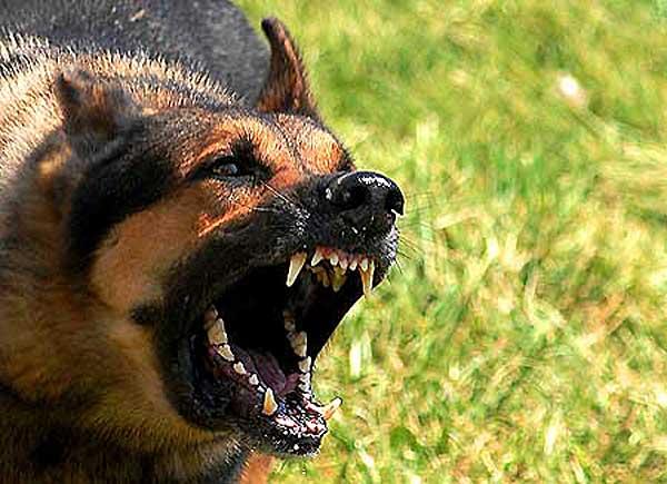 Dos genes (UBE2V2 y ZNF227) parecen estar implicados en la agresividad canina.
