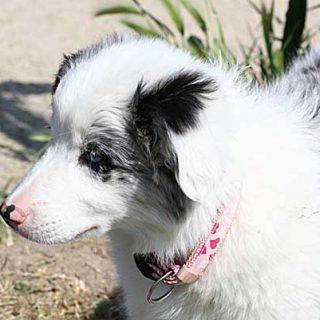 Los perros ciegos y sordos causados por doble merle se pueden evitar. Genética básica, razas afectadas...