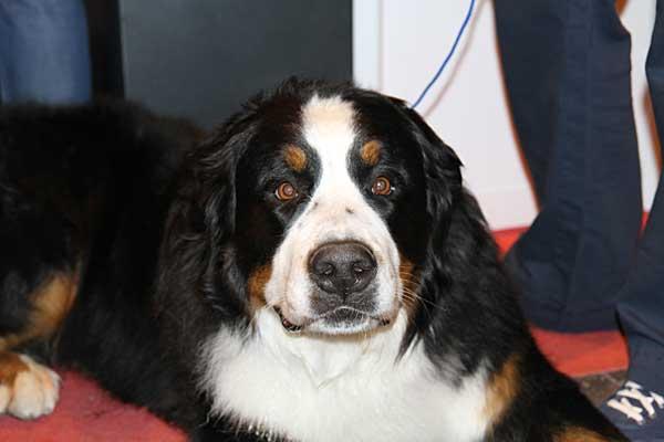XVIII Exposición Internacional Canina de Cantabria, exhibición del Grupo de Rescate Mare Nostrum, III Concurso Nacional Canino de Cabárceno, monográficas de American Staffordshire Terrier,Terriers y Boxer.