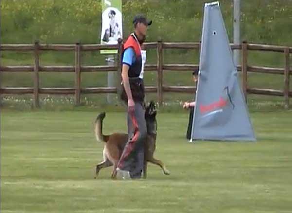 Hasco van de Duvetorre es el primer perro que Mario Verslype ha entrenado con sus nuevos planteamientos de adiestramiento deportivo.