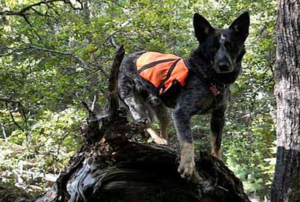 Perros adiestrados para detectar una especie concreta de búho, discriminando otros búhos.