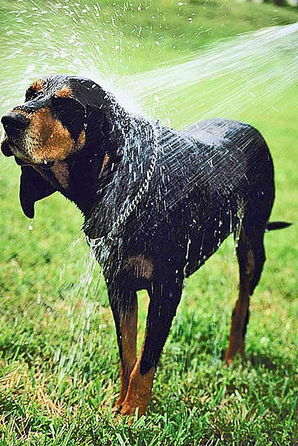 Los perros puede eliminar el 70 por ciento del agua de su pelaje en 4 segundos (vídeo).