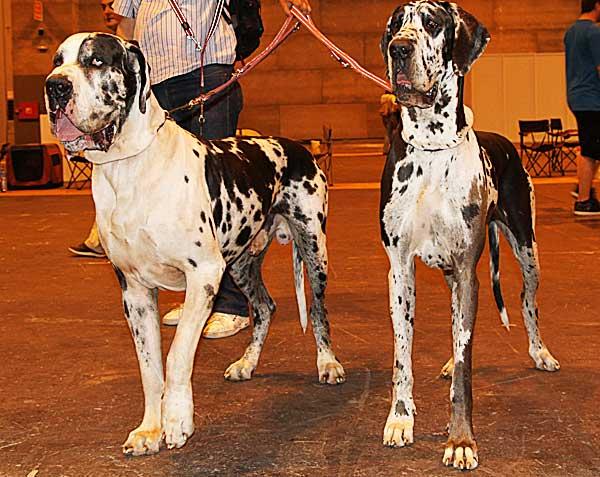 El osteosarcoma canino es una de las principales causas de muerte en los perros de razas grandes. Un nuevo producto para combatirlo se está probando en la Universidad de Pensilvania.