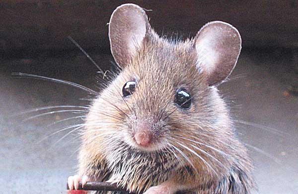 ¿Agility con ratones? El condicionamiento operante es la cave (vídeos de agility y habilidades).