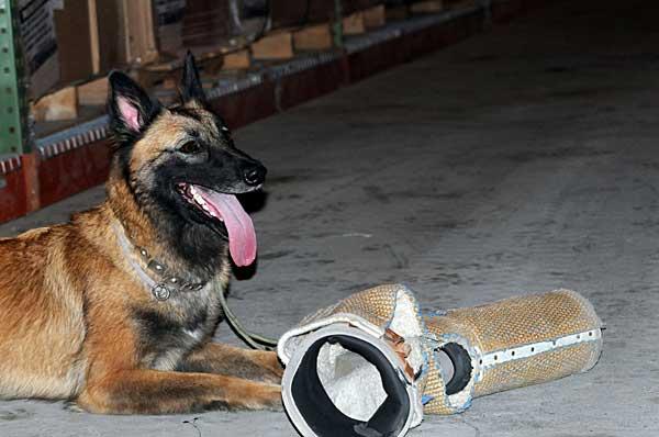 Conocer si los perros son diestros o zurdos puede ser útil para mejorar el adiestramiento de perros militares, de rescate...