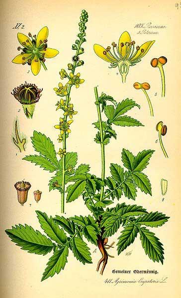 Flores de Bach y perros: Agrimonia es la esencia floral para perros con ansiedad, estereotipias, desequilibrios...