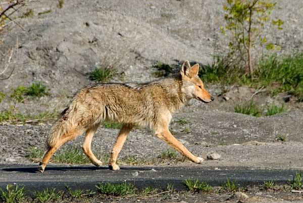 Los coyotes son monógamos. Algunas parejas permanecen toda su vida juntos.