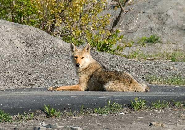 Los coyotes son monógamos. Algunas parejas permanecen toda su vida juntas.