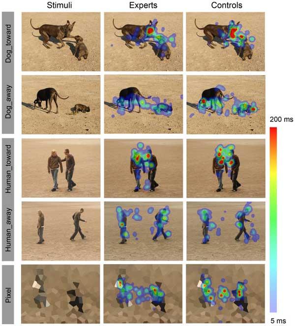 Los expertos en perros observan a los perros de forma diferente a los expertos. Los mapas de mirada lo demuestran.