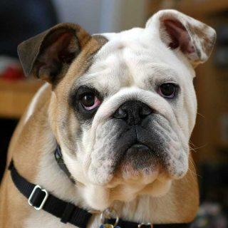 5 preguntas sobre el seguro para perros, razas, coberturas, obligaciones, perros potencialmente peligrosos...