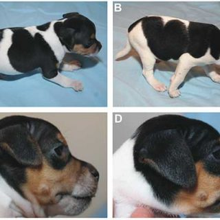 Terrier brasileño y problemas esqueléticos. La mutación fue descubierta de forma rápida, y posteriormente confirmada en más de 200 perros. Ahora se puede prevenir.