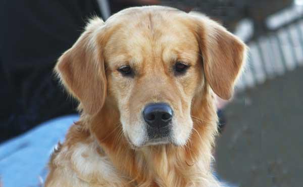 Morris Animal Foundation's Golden Retriever Lifetime Study es el estudio de mayor envergadura que se haya realizado nunca sobre la salud de los perros, en este caso concretamente del golden retriever (una de las razas más afectadas por cáncer y otras enfermedades). Se evaluarán 3.000 perros durante los próximos 10-14 años.