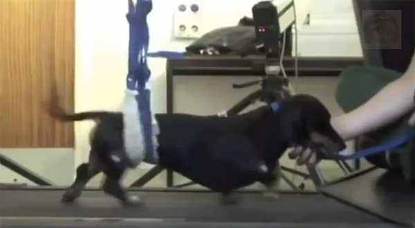 Vídeo Jasper, el perro con parálisis que vuelve a andar tras un transplante de células olfatorias.