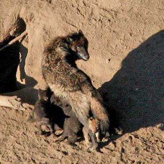 ¿Cuántos lobos fueron domesticados dando origen al perro? La Universidad de Oulu tiene su propia teoría.