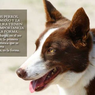 A la hora de generalizar la asociación palabra-objeto, los perros contemplan tamaños y texturas, no la forma.