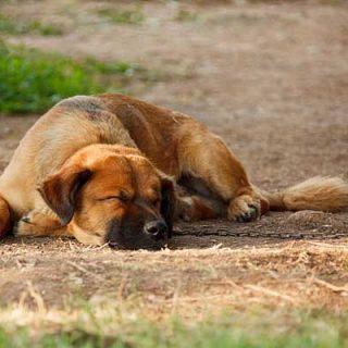 """PACMA denuncia la autorización a cazadores para abatir 15 perros en Tenerife por considerarlos """"asilvestrados""""."""