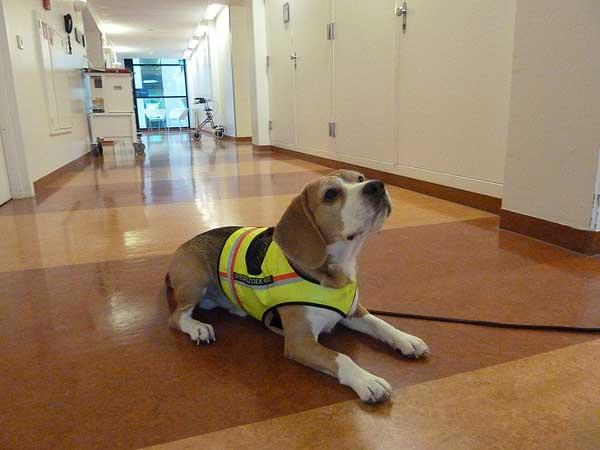"""Los perros pueden detectar la bacteria Clostridium difficile (el agente infeccioso que es responsable de muchos de las temidos """"infecciones hospitalarias"""")."""