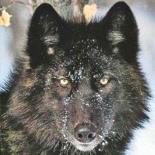 Desde que es es perro, el perro no es un carnívoro como el lobo. Lo han demostrado investigadores suecos.