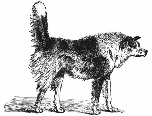 Los perros sin cola no son percibidos de igual forma por los otros perros (estudio científico).