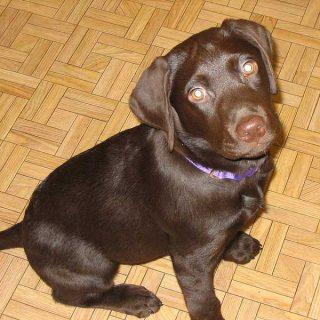 Displasia de cadera en perros y sobrepeso: El peso del cachorro es un factor determinante.