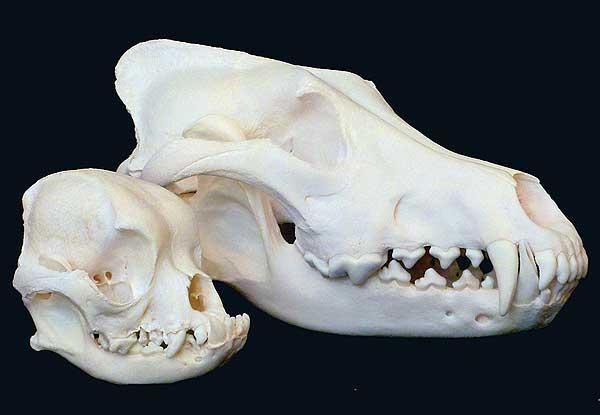 Los (muy) diferentes cráneos de los perros... cuestión de genética.