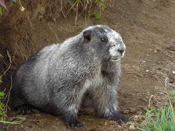 2 de febrero, día de la marmota. Por cierto, hoy no ha visto su sombre :)