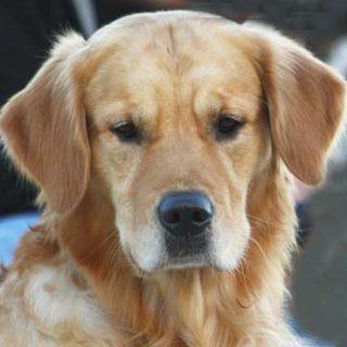 Un estudio demuestra que los perros y perras castrados padecen con más frecuencia diferentes tipos de cáncer y problemas artñiculares como la displasia de cadera.