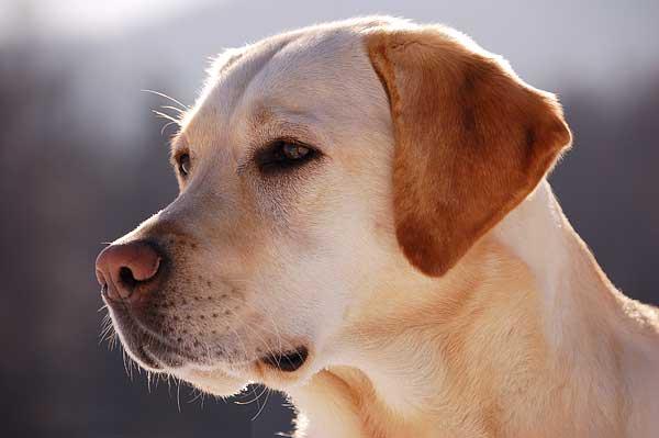 Las 25 razas de perros más populares en EE.UU. son...