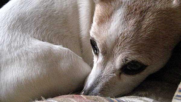 Crisis en los piensos contaminados con harina de cadáveres de perros.