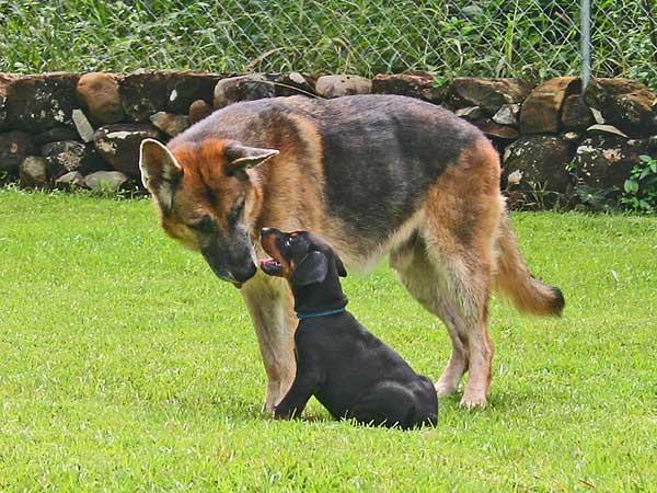Socialización del cachorro y posibilidades de infección por parvovirus.