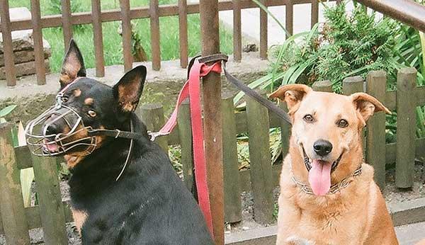 El #bozal es un elemento de seguridad muy importante (cuando no obligatorio). Hacérselo fácil a nuestros #perros es muy sencillo (vídeo).