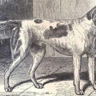 """El primer perro """"con pedigri"""" fue un pointer."""
