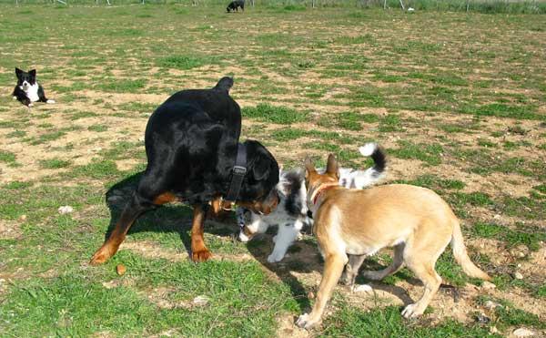 Socialización de cachorros con otros perros, el papel de los perros adultos.