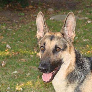 Estudio sobre técnicas de descompresión en perro que han sufrido torsión gástrica.