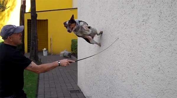"""Bad Ass, trucos extremos con un perro. Por encima de lo """"razonable"""", muchos de ellos son excesivamente peligrosos."""