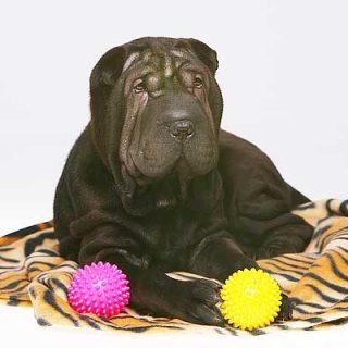 Eliminar las enfermedades hereditarias en los #perros es responsabilidad de todos. #Veterinaria.