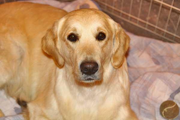 """#Veterinaria. Que los perros sin raza son más """"saludables"""" es algo admitido, pero no siempre es cierto, o no ante todas las enfermedades."""
