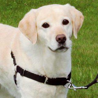 Arnés anti-tiro para perros ¿son recomendables? ¿Son un fin o un medio?