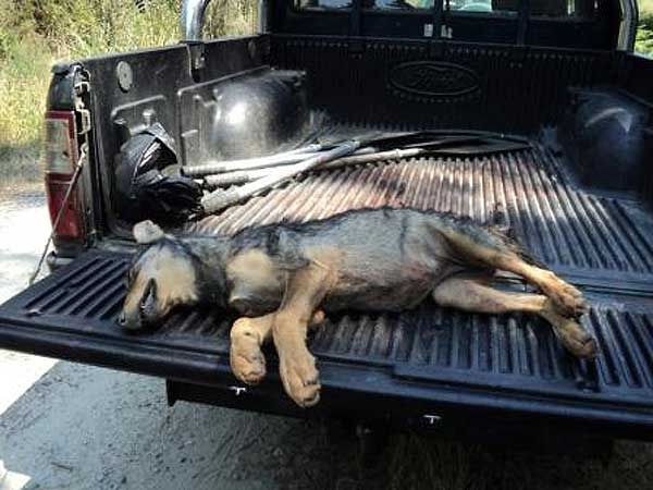 Cacerías de cachorros de lobo en Galicia. PACMA desvela las mentiras de la Xunta de Galicia sobre las matanzas de lobos.