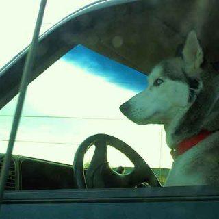 El 34% de los perros que viajan en coche han sufrido mareos...