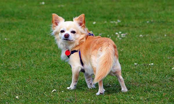 ¿De dónde provienen las razas de perros americanas? Al igual que los europeos, el origen está en Asia.